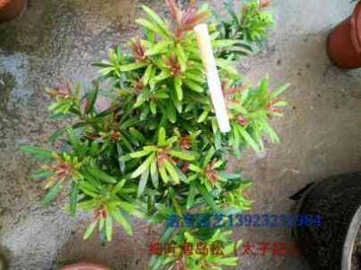 海岛罗汉松(太子妃)小叶子品种
